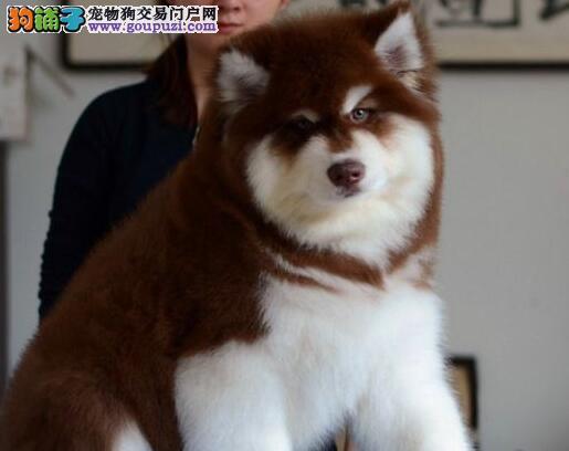 南京哪里出售阿拉斯加雪橇犬 十字脸大骨骼阿拉斯加3