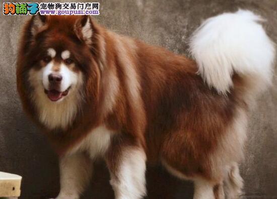 南京哪里出售阿拉斯加雪橇犬 十字脸大骨骼阿拉斯加2