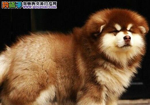 正宗熊版阿拉斯加苏州狗场专业繁殖出售 超帅气超拉风