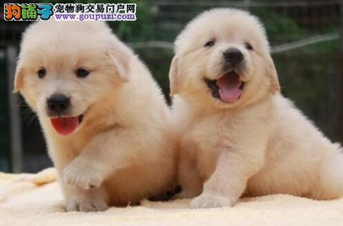 出售果洛州金毛专业缔造完美品质狗贩子请勿扰