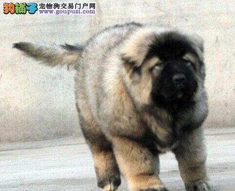 高加索犬出现呕吐现象时怎么办