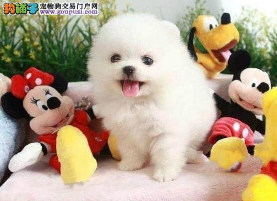 广州哈多利博美犬茶杯犬球体博美狗笑脸超可爱萌犬出售