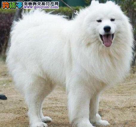 深圳犬舍低价出售纯种萨摩耶包健康半年包养活送用品
