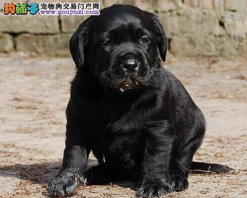 石家庄正规狗场出售大骨架的拉布拉多犬 不欺骗客户
