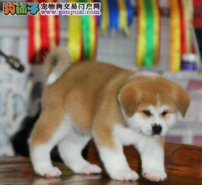 安康繁殖基地出售多种颜色的秋田犬价格特优惠哦