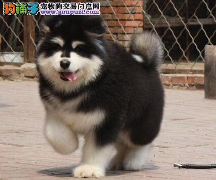 石家庄正规狗场出售阿拉斯加犬 24小时可电话咨询