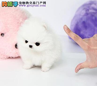 深圳哈多利版松鼠犬高品质博美幼犬 售后三包品质保障