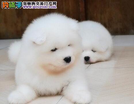 微笑天使品相的唐山萨摩耶幼犬热卖中 签订售后协议