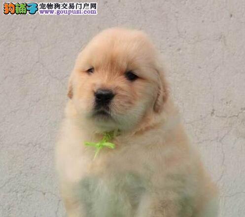 实物拍摄的吉安金毛找新主人微信咨询看狗