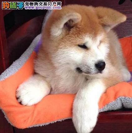 德阳市出售健康秋田犬 日系纯种 血统纯正 可视频看狗