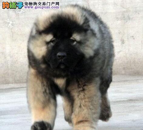 如何让高加索犬的身上不再有难闻的气味