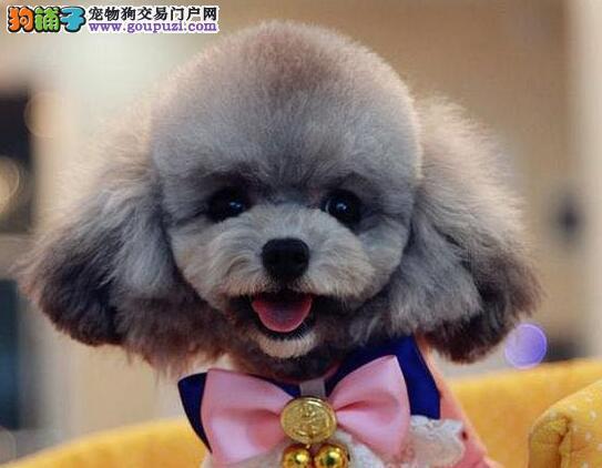 热销多只优秀的纯种泰迪犬价格美丽非诚勿扰