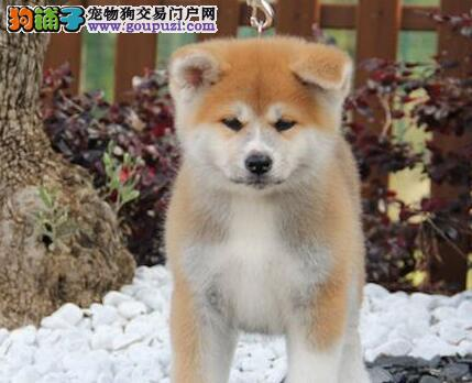 广州知名犬舍出售秋田幼犬 提供芯片及血统证书
