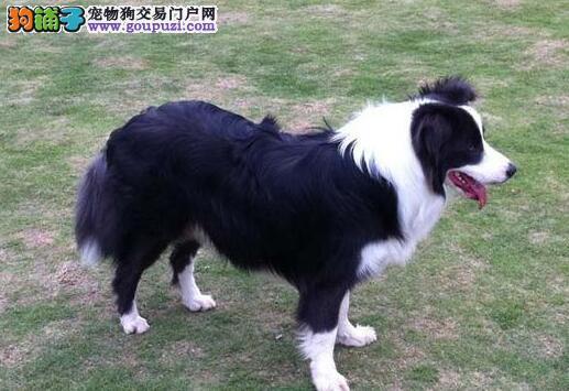 顶级优秀狗场热销七白到位宁波边境牧羊犬 有血统证书