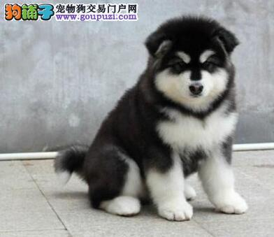 正宗家养纯种啊拉斯加幼犬.品质绝对保证,可上门看