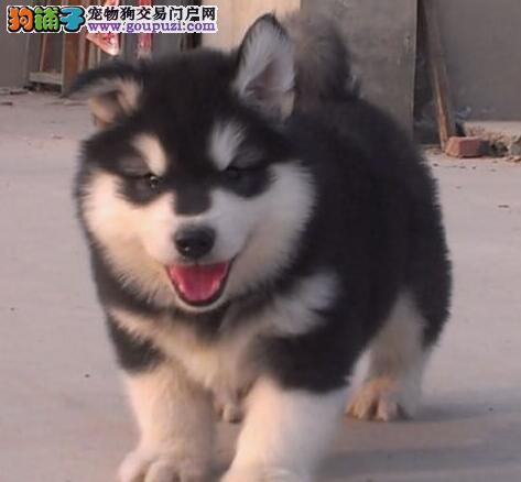 出售多种颜色的广州阿拉斯加犬 喜欢的朋友不要错过啦