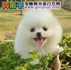 茶杯博美犬是长不大的狗狗 北京哈多利球体博美犬出售