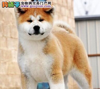出售高品质日系西安秋田犬 血统纯正疫苗齐全