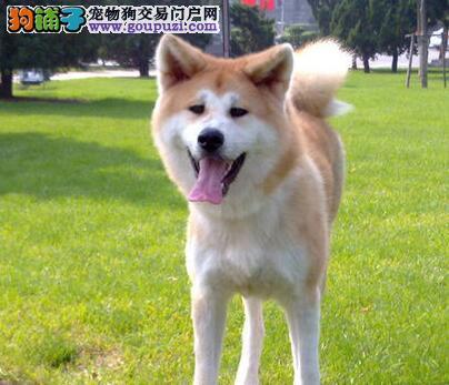 南京哪里有卖秋田犬的 南京有纯种的秋田犬卖吗