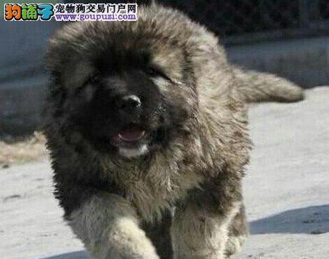 科学全知道 高加索犬五大正常脱毛原因