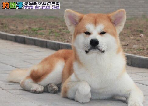 正规大型犬舍武汉出售赛级品种秋田幼犬 品相极佳