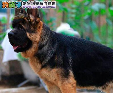 专业繁殖纯种德国牧羊犬,纯种健康 可签质保协议