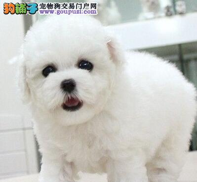 漯河市精品纯种比熊犬纯种健康专业狗场繁殖签协议质保