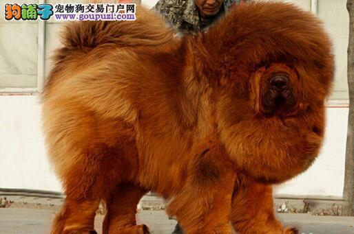 大狮头藏獒蚌埠纯种藏獒繁殖基地大骨量藏獒犬幼獒出售