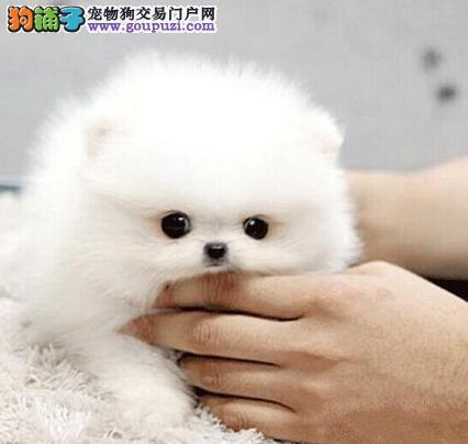 沧州特价直销博美犬狐狸犬包活保纯签协议保障