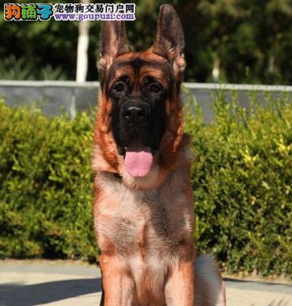 郑州基地出售德国牧羊犬证书齐全品质保证