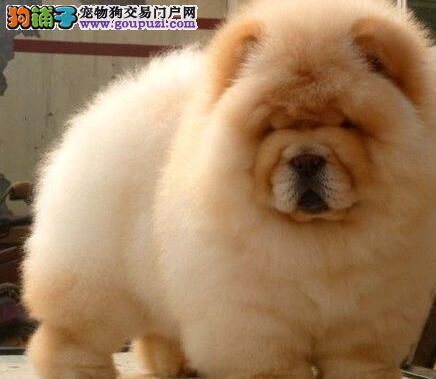 顶级优秀福州松狮犬特价转让 大嘴紫舌保证纯种健康