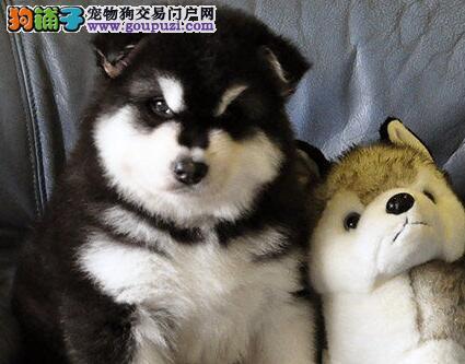 超高品质巨型金华阿拉斯加雪橇犬直销中售后保障全