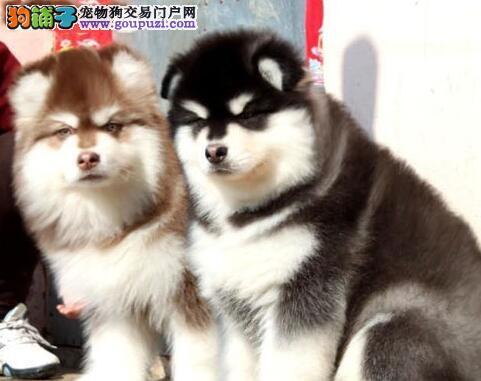 超高品质巨型金华阿拉斯加雪橇犬直销中售后保障全2