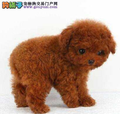 出售极品泰迪犬幼犬完美品相专业品质一流