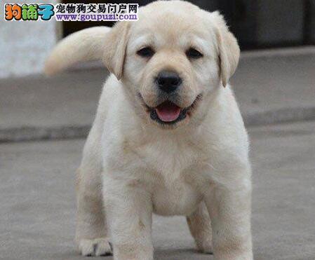 纯种拉布拉多犬 赛级拉布拉多犬 终身包品质可签协议