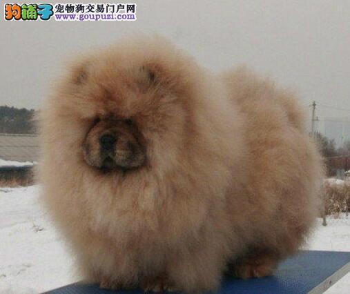 低价转让纯种九江松狮犬公母都有购买签订活体协议1