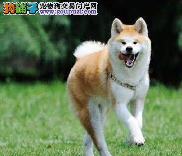秋田犬重庆CKU认证犬舍自繁自销同城免费送货上门