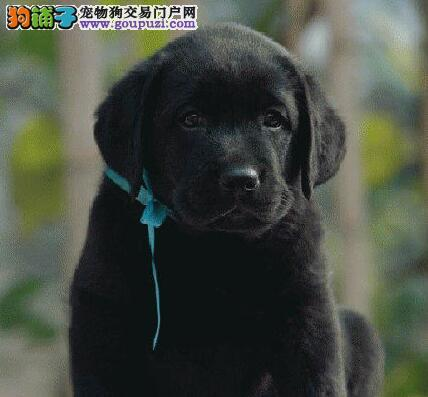 天津出售优质拉布拉多犬纯种健康 签订协议