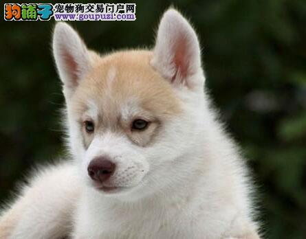 重庆正规犬舍繁殖 赛级品质 哈士奇幼犬 包活 可刷卡