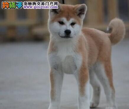 出售秋田犬公母都有品质一流签订三包合同2