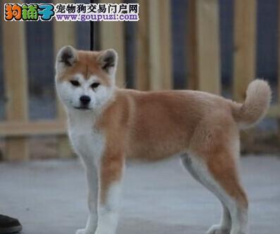 毛色纯正血统纯正的兰州秋田犬找新家 完善的售后服务4