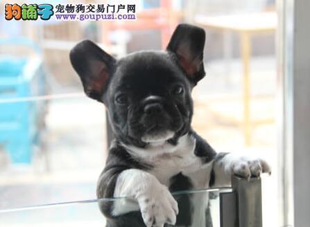 纯血统法国斗牛犬出售专业犬舍直销价钱实惠签协议保障