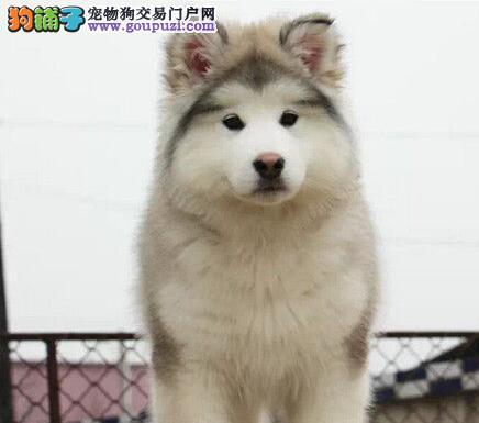 购买阿拉斯加犬必须注意的基本常识