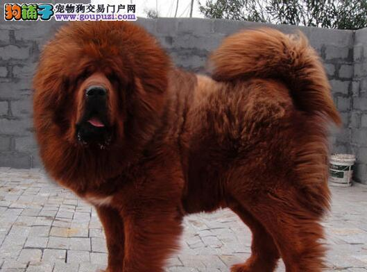 藏獒|獒犬|马士提夫犬