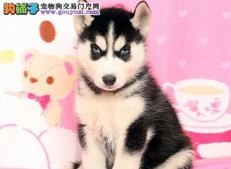漳州自家狗场繁殖直销哈士奇幼犬微信咨询看狗狗视频