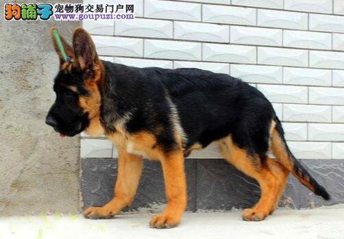 宁波繁育基地直销德国牧羊犬完美品相驱虫已做