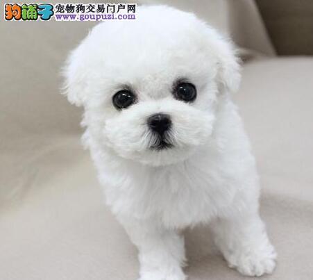飞耳比熊犬小体纯种茶杯比熊幼犬家养小型宠物狗