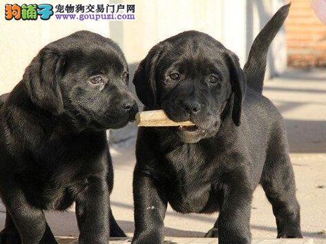 重庆自家繁殖拉布拉多 保证纯种 可24小时视频看狗