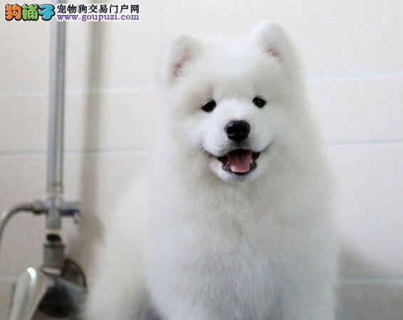 绵阳基地转让纯种微笑萨摩耶犬支持送货上门