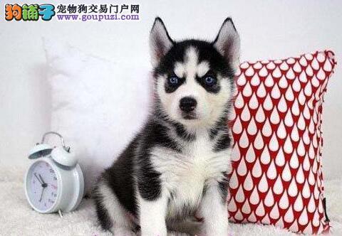 南京正规繁殖基地出售三把火哈士奇幼犬 可随时上门选